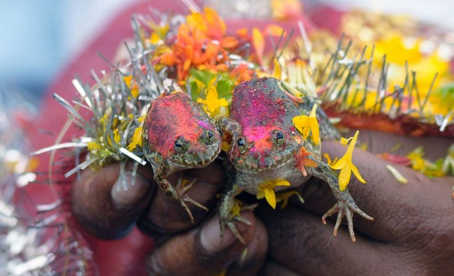 The wedding of two frogs, arranged by farmers seeking rainfall...