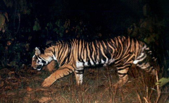 A picture of a rare black tiger