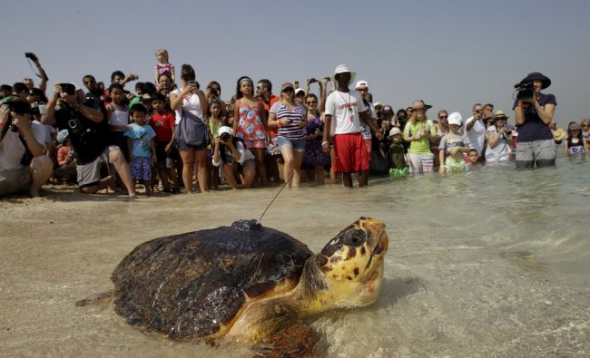 A satellite-tagged Loggerhead sea turtle finds her way to the water...