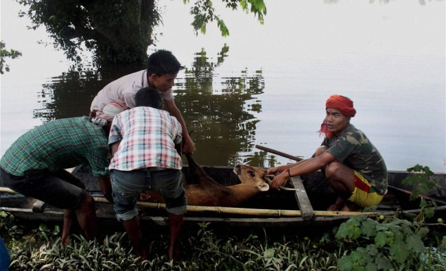 Assam Forest offcials rescue an adult deer from a flood-affected region, Assam...