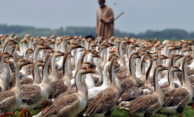 A Kashmiri villager stands next to his swans at a field in Bandipora, north of Srinagar ....