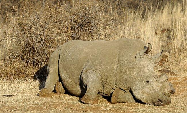 Black dehorned rhinoceros resting at the Bona Bona Game Reseve, 200 kms southeast of Johannesburg