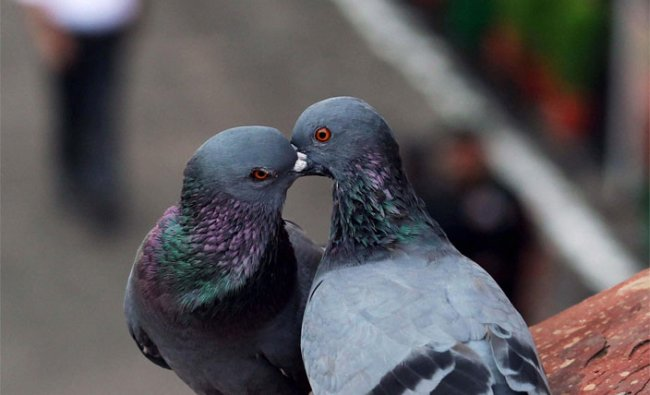 A pair of pigeons seen on wall of historic Red Fort