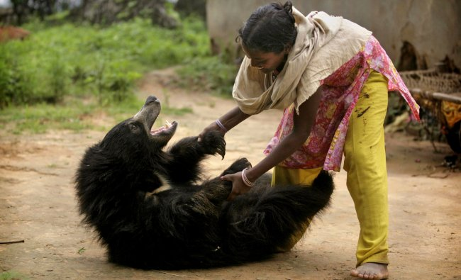 Juli Kisan plays with Buddu, a one and a half-year-old sloth bear at the family\'s home in Lakhapada