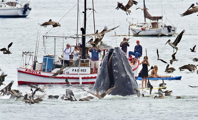 A humpback whales lunges out of the water to feed near a gathering of spectators just off a beach...