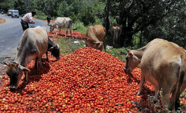 Cows having feast on heaps of tomatoes thrown by farmers ...