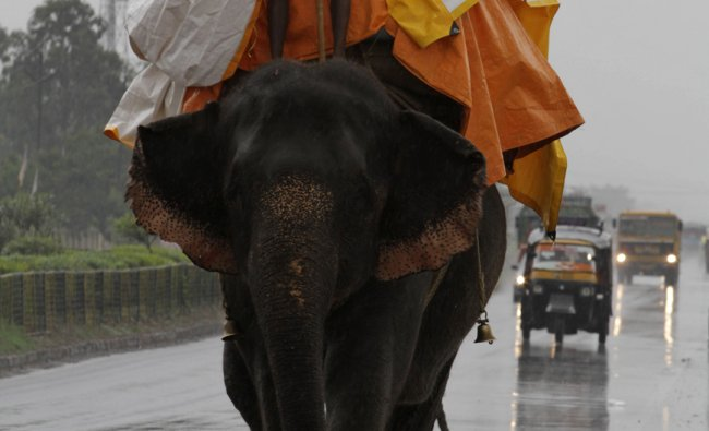 A Mahout covers himself with a plastic sheet to protect him from the monsoon rain