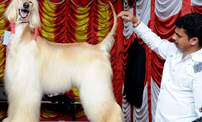 Afghan Hound participating in Dog Show-2012 at Dhasara exhibition ground, Mysore
