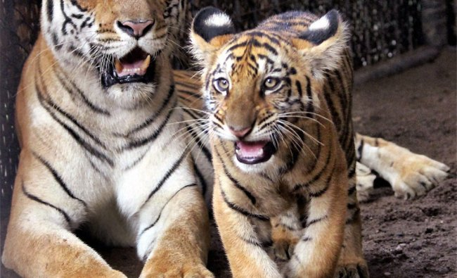 A tiger with its cub at the Tata Steel Zoological Society in Jamshedpur on Wednesday..