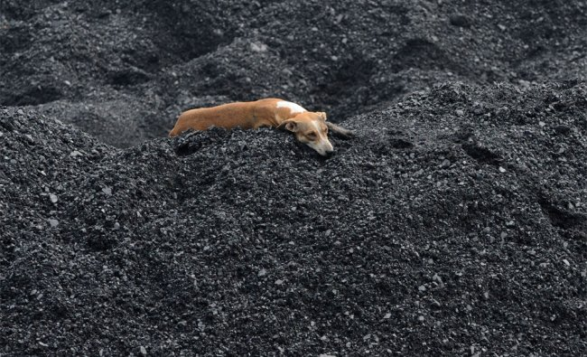 A dog relaxes on a heap of coal at the Kankaria Railway Yard in Ahmedabad on Wednesday...
