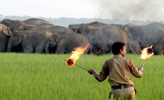A forest official at Ramgopalpur chasing a group of Elephants after they entered in a locality...