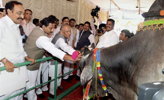 N. Kiran Kumar Reddy looking at an Ongole bull after inaugurating a special bull exhibition