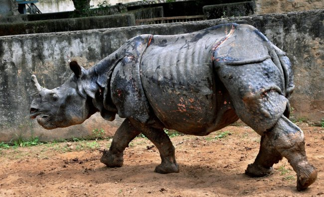 One-horned rhino at Assam State Zoo in Guwahati on Monday