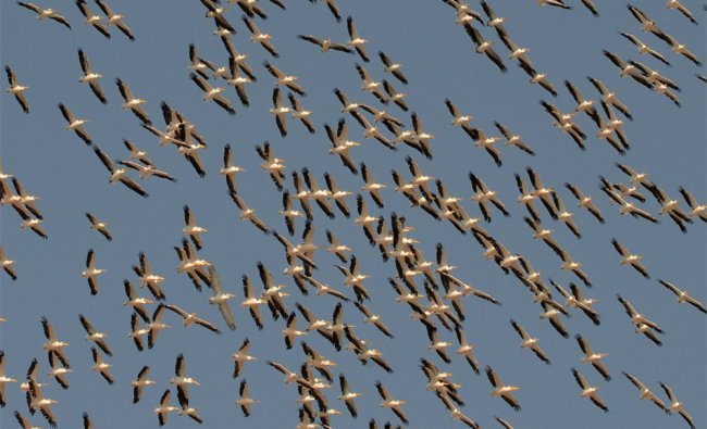 Migratory pelicans fly over the Lakhpat Fort area at Lakhpat, some 600 kms from Ahmedabad...