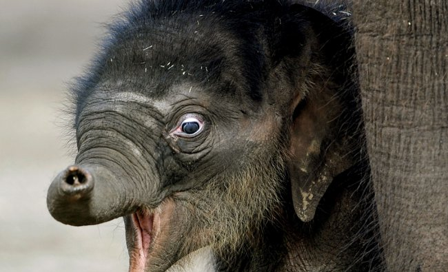 Elephant calf Pathi Harn after his miracle birth after being pronounced dead during labour
