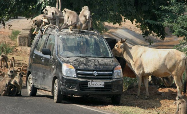 A group of monkeys and cows near a tourist\'s car at Pushkar