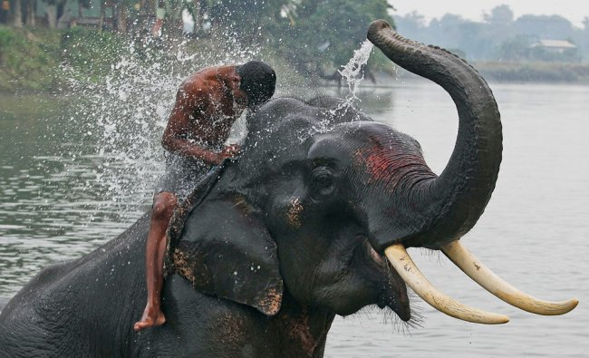 An elephant sprays water on his Mahout, before offering safari rides to tourists