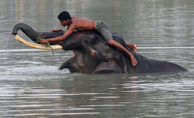 A mahout bathes an elephant before starting off to provide safari rides to tourists