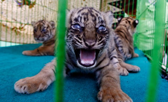 Three four-week-old cubs sit inside a cage at a zoo in Medan, North Sumatra