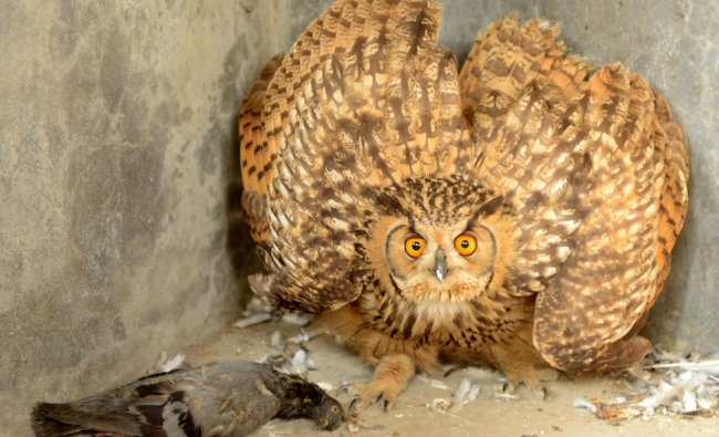 A Eurasian Eagle-Owl reacts after being fed at SPCA