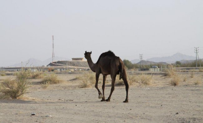 Photo of a camel on the way to Taif mountains, Saudi Arabia....