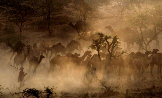 Camel traders arrive with their livestock for the annual Pushkar fair