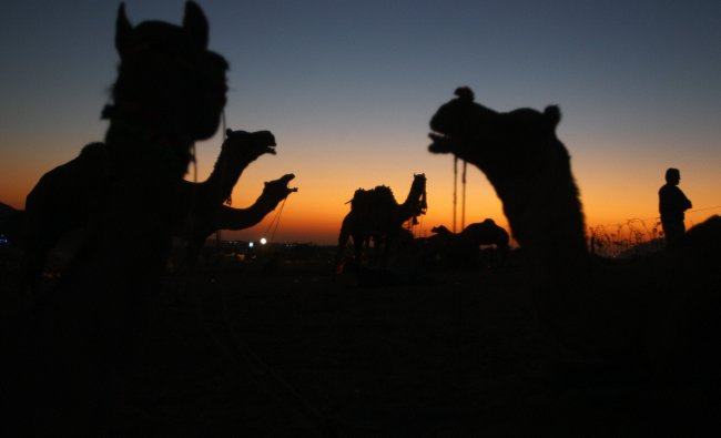 A camel herder waits for customers at the annual Pushkar fair