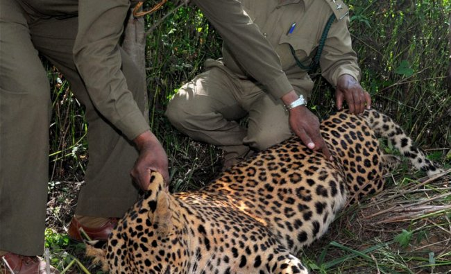 Forest officials inspecting the body of a leopard that was found dead at Haebballi near Chikmagalur