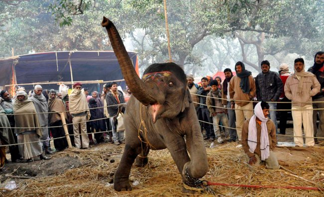 People look at a 2-year-old elephant at the Sonepur cattle fair in Bihar...