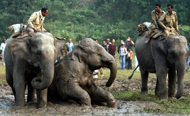 Forest officials, on domestic elephants, try to push an injured wild elephant after...