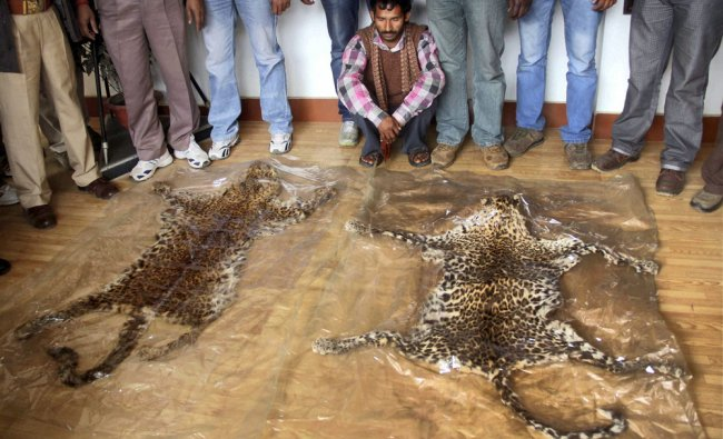 Police displaying the skins of wild animals seized from smugglers in Allahabad on Friday....