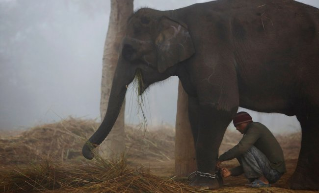 A mahout ties a chain on the feet of his elephant after arriving from the Chitwan National Park...