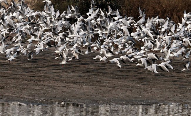Group of Sea Gulls near the banks of river Yamuna in New Delhi on Wednesday....