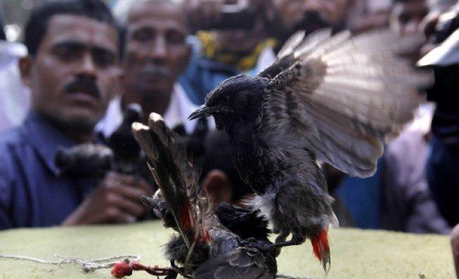 Spectators watch as Red-vented Bulbuls fight during the Bhogali Bihu...