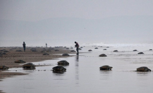 Olive Ridley turtles return to the sea after laying eggs near Rushikulya river...