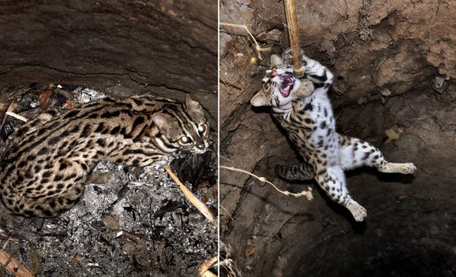 A leopard cub before and after being rescued by forest department personnel from a pond at Madhubpu.
