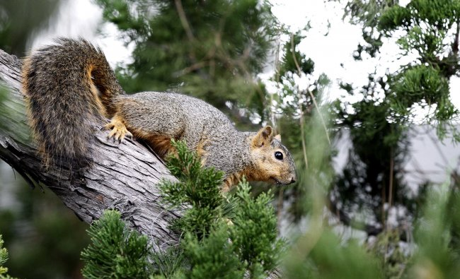 A squirrel is pictured as it is perched on a tree branch in Pasadena...