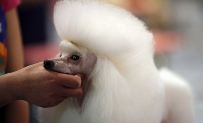 A man holds a Miniature Poodle during a dog beauty contest during the Shanghai International Dog...