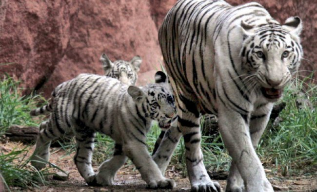 A White Tigress walks with its four-month-old cubs in its enclosure at Nehru Zoological Park...
