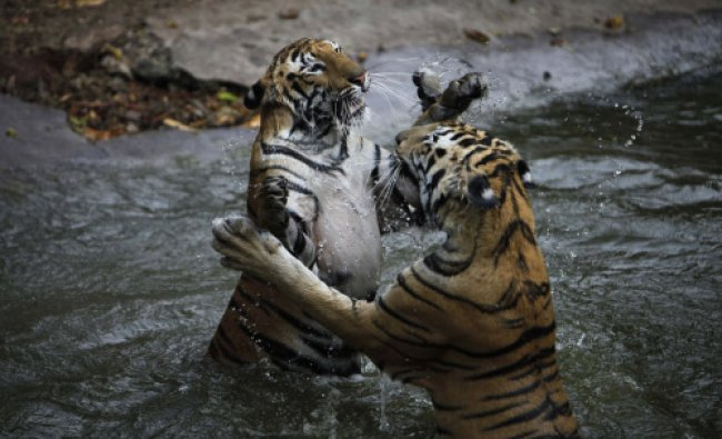 Royal Bengal tigers play in the water at a pool at the Nehru Zoological Park in Hyderabad...