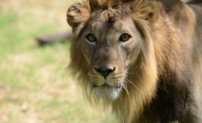 Seven year old Asiatic lion, Ambar watches from inside his open enclosure at the Kamla Nehru...