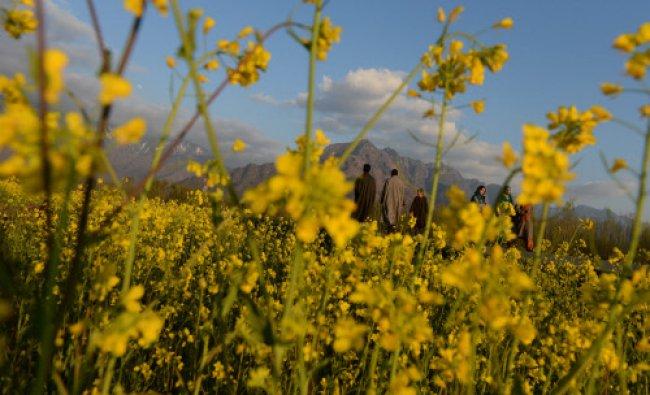 Kashmiri men walk alongside a mustard field in full bloom on the outskirts of Srinagar..