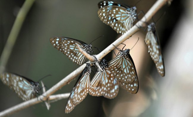 A group of \'Blue Tiger\' butterflies rest on twigs at the Cubbon Park in Bangalore....