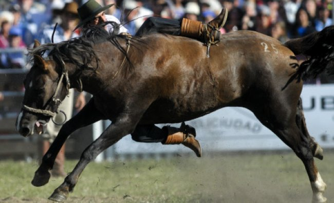 A gaucho or cowboy falls from his horse while riding during a rodeo competition in Montevideo...