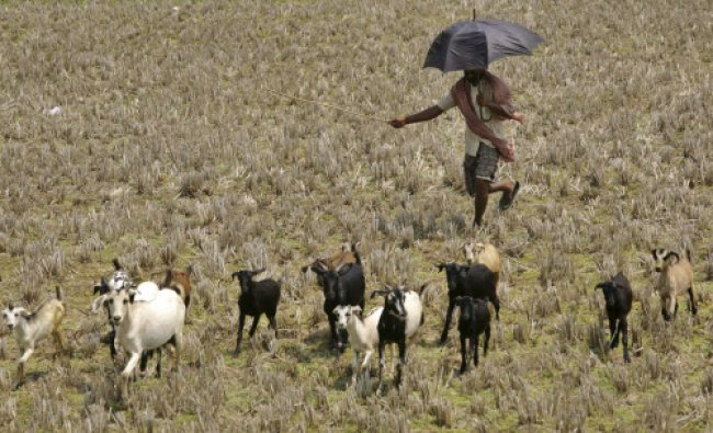A villager herds his goats for grazing on the outskirts of Bhubaneswar, Saturday, March 30...