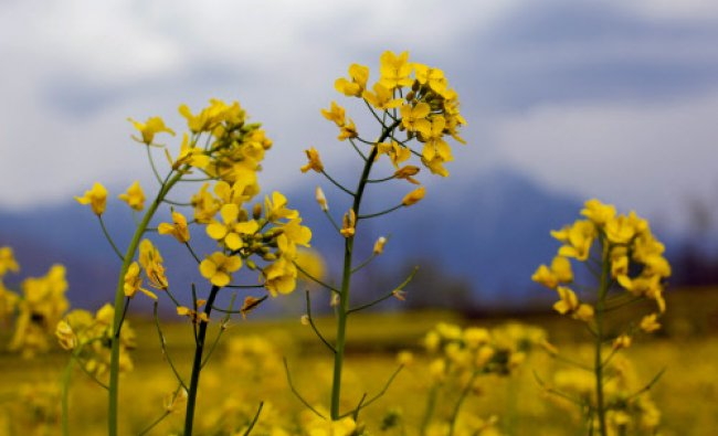 Mustard flowers bloom at a field on the outskirts of Srinagar, India, Saturday...