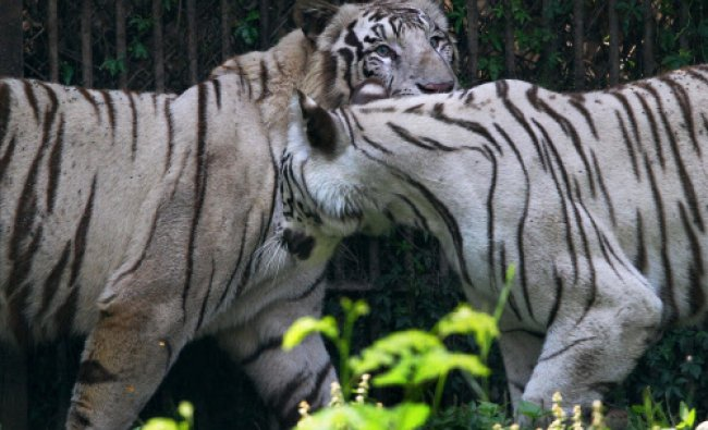 White tigers at the national capital zoo on Sunday. PTI Photo