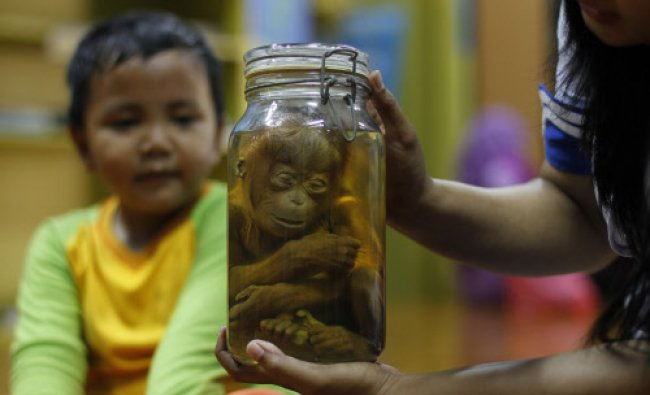 A tour guide holds a preserved Orangutan as she speaks to students at Ancol Smart House in...