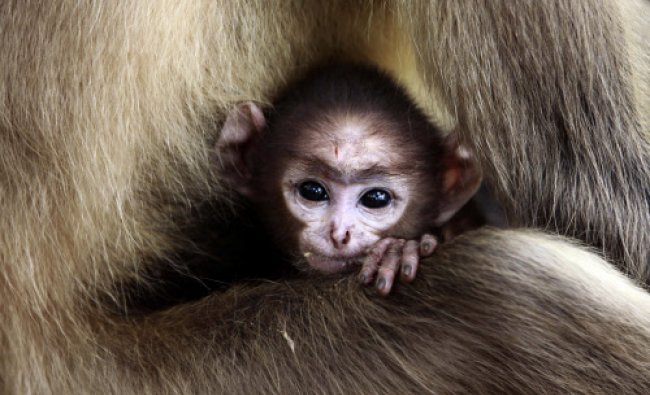 A langur baby looks out resting in the lap of its mother at the Khandagiri cave hills...