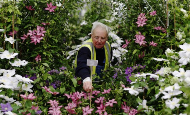 Raymond Evison of the Guernsey clematis nursery inserts a name plate into a display during...
